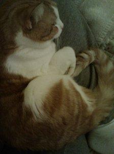 cat curled up in a lap